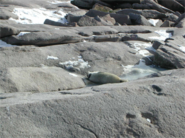College of the Atlantic students monitored the seal population at Mount Desert Rock, while the scientists were measuring sea spray. This grey seal pup was born in early January.