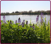 Photo of Lupines on the levee.